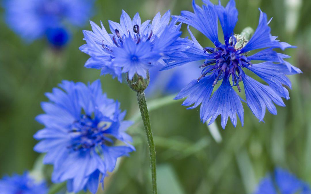Sel aux herbes et aux fleurs de bleuets