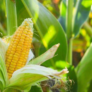 planter et semer Maïs