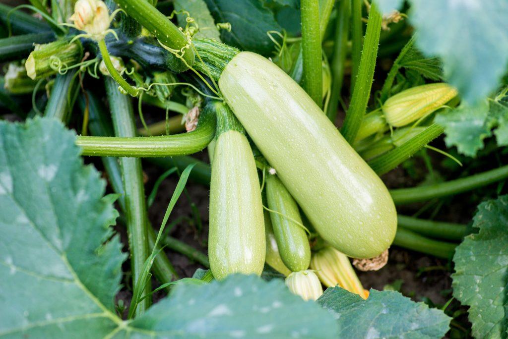 légumes soleil courgette